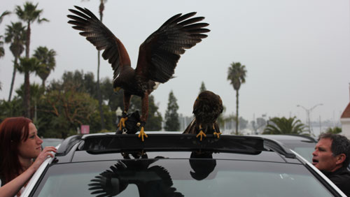 hawk-on-sun-roof